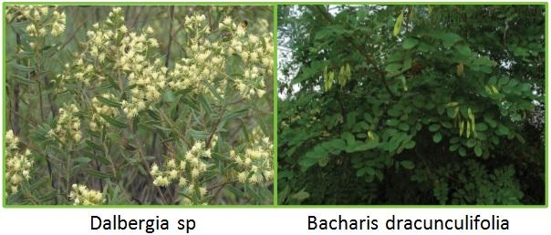 Bacharis Dracunculifolia dan Dalbergia sp